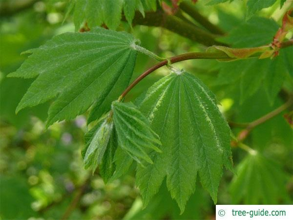 vine maple (Acer circinatum) leaves in summer