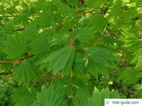 vine maple (Acer circinatum) leaves