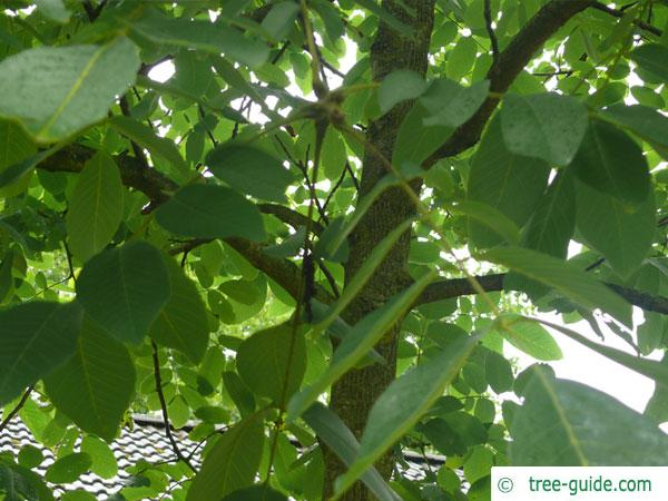 common walnut (Juglans regia) crown in summer