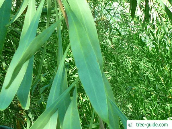 water wattle (Acacia retinodes) leaf