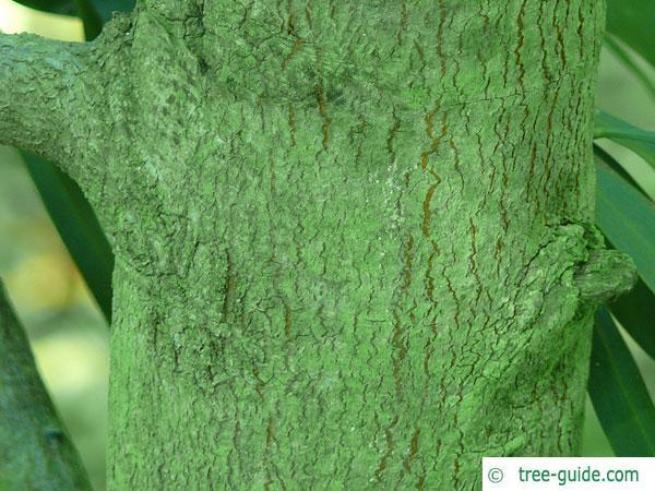 water wattle (Acacia retinodes) trunk / bark