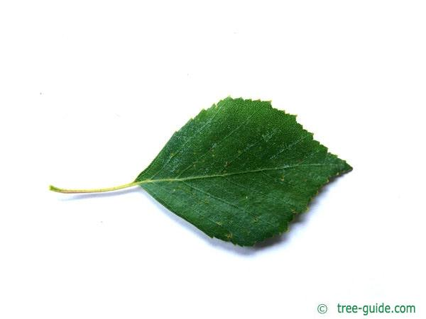 white birch (Betula pendula) leaf