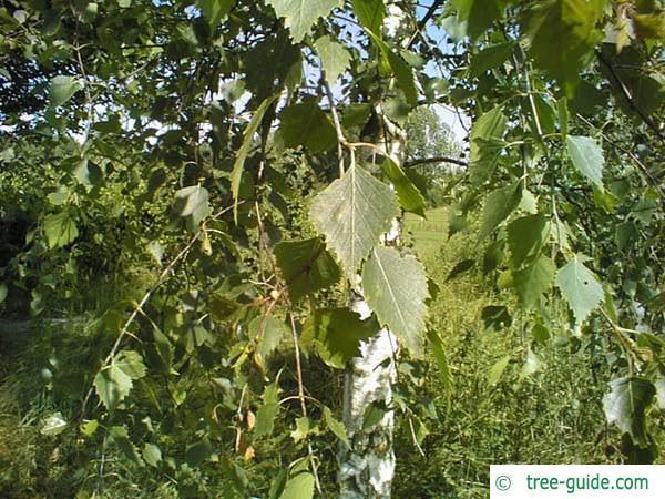 white birch (Betula pendula) leaves in summer