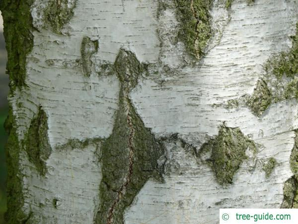 white birch (Betula pendula) the trunk is white and black