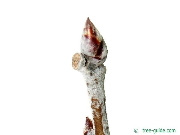 white poplar (Populus alba) bud