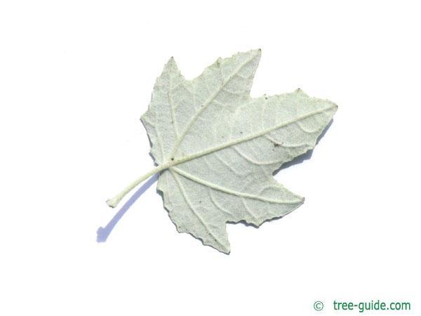 white poplar (Populus alba) leaf underside