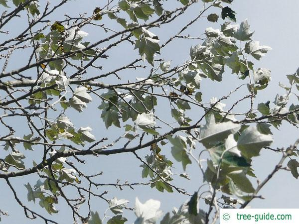 white poplar (Populus alba) leaves