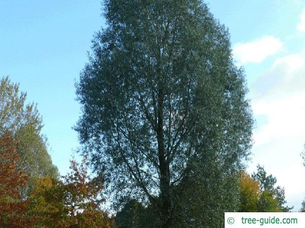 white willow (Salix alba) tree