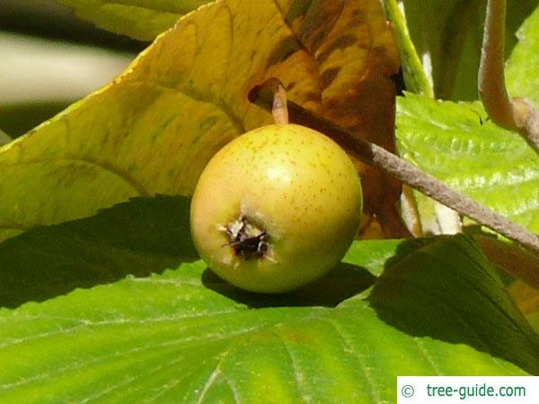 whitebeam (Sorbus aria) fruit / apple