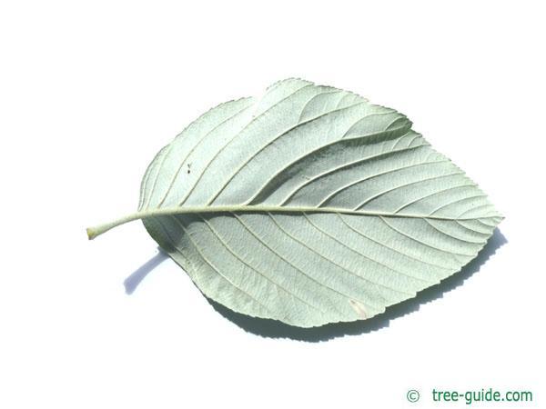 whitebeam (Sorbus aria) leaf underside