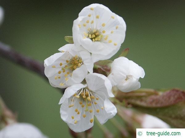 wild cherry (Prunus avium) flower