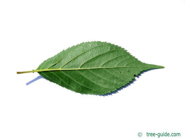 wild cherry (Prunus avium) leaf underside