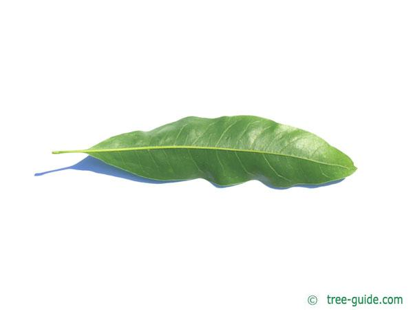 willow oak (Quercus phellos) leaf underside
