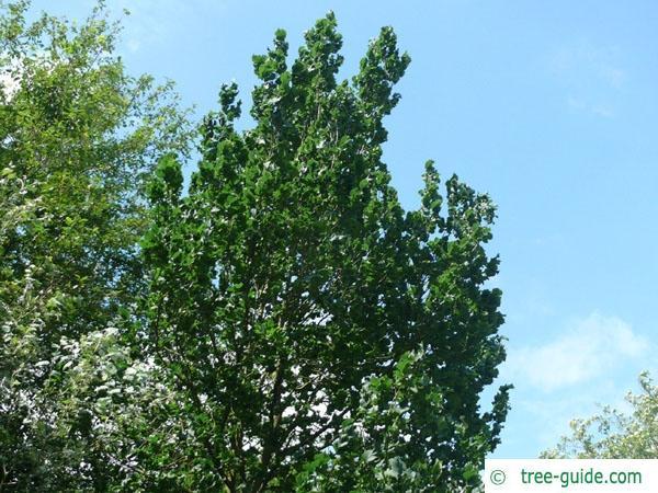 wych elm (Ulmus glabra) crown in summer