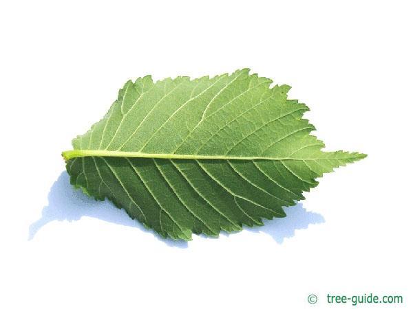wych elm (Ulmus glabra) leaf underside