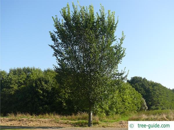 wych elm (Ulmus glabra) tree in summer