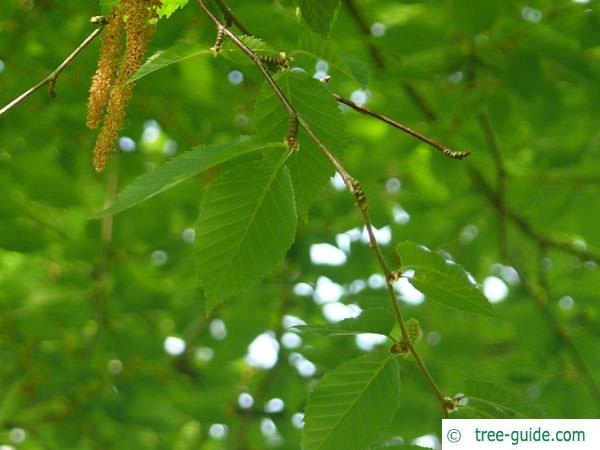 yellow birch (Betula alleghaniensis) branch green