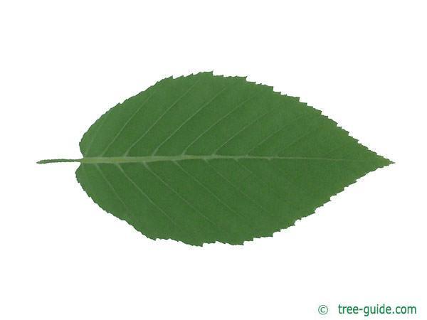 yellow birch (Betula alleghaniensis) leaf underside