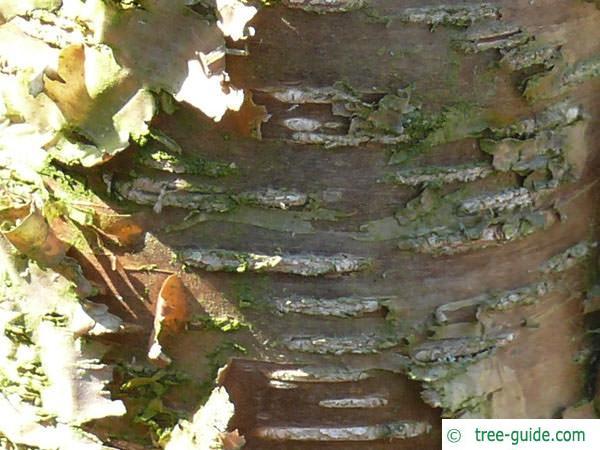 yellow birch (Betula alleghaniensis) trunk / bark