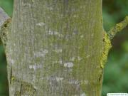 big leaf maple (Acer macrophyllum) trunk