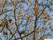 foxglove tree (Paulownia tomentosa) buds