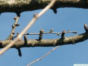 ginkgo (Ginkgo biloba) axial buds