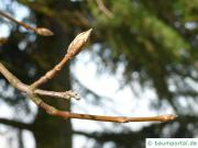 italian maple (Acer opalus) buds