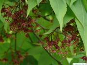 japanese maple (Acer palmatum 'Ozakazuki') flower