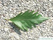 oak leaved beech (Fagus sylvatica 'Quercifolia') leaf