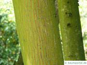 snake bark maple (Acer pectinatum subsp. laxiflorum) trunk / bark