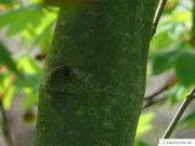 vine maple (Acer circinatum) trunk / bark