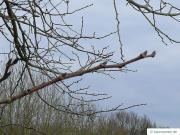 wych elm (Ulmus glabra) buds