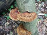 alder braket (Inonotus radiatus)