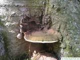 artists conk (Ganoderma lipsiense)