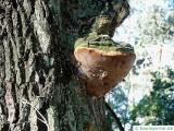 robustus conk (Phellinus robustus) at an oak