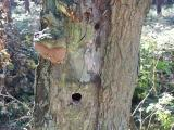 robustus conk (Phellinus robustus) with woodpecker holes