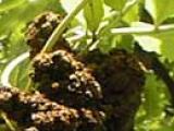 ash gallmite