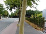 London plane tree exfoliating bark