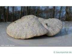 Lumpy bracket (Trametes suaveolens) top