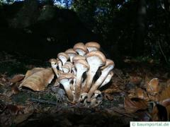 honey fungus (Armillia mellea) group of fungi
