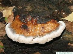 reishi (Ganoderma lucidum) fungus