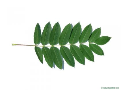 american mountain ash (Sorbus americana) leaf