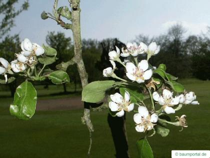 apple (Malus hybrid) flower