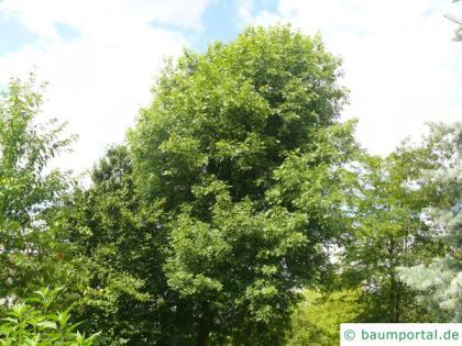 arizona ash (Fraxinus velutina) older tree in summer