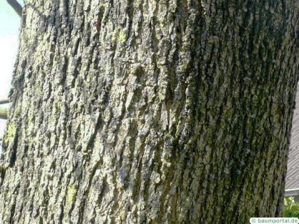 arizona ash (Fraxinus velutina) crown