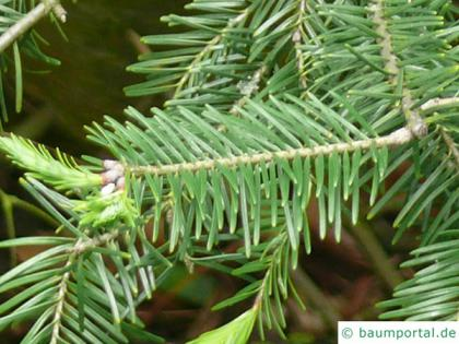 balsam fir (Abies balsamea) needles