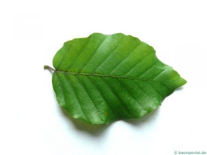 beech (Fagus sylvatica) leaf