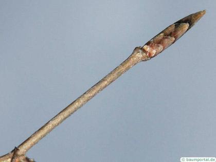 beech (Fagus sylvatica) terminal bud