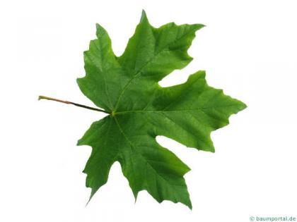 big leaf maple (Acer macrophyllum) leaf