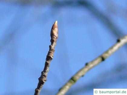 bitter berry (Prunus virginiana) buds in winter